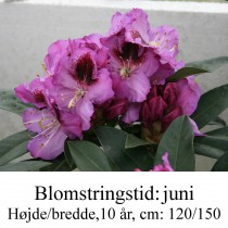 "Rhododendron ""Pfauenauge"