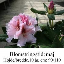 rhododendron Le Progres