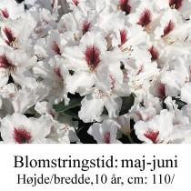 "Rhododendron ""Picobello"