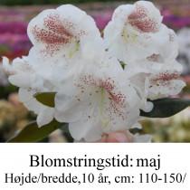 "Rhododendron  ""Prinses Máxima Maxima"
