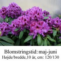 "Rhododendron  ""Rasputin"