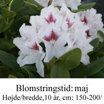 """Rhododendron  """"Schneeauge"""
