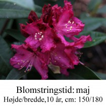 "Rhododendron ""Madame Marie Fortier"