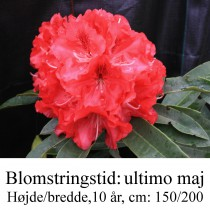 "Rhododendron  ""Wilgen's Ruby"