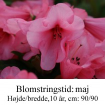 "Rhododendron  ""Winsome"
