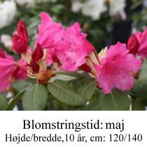 Rhododendron  August Lamken