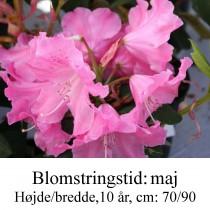 "Rhododendron  ""Hallelujah"