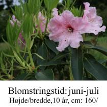 """Rhododendron  """"Spätlese"""