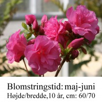rhododendron Babuschka