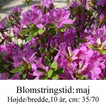 rhododendron Diamant blå