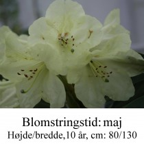 "Rhododendron  ""Stadt Westerstede"