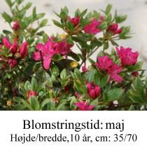 rhododendron Diamant rød
