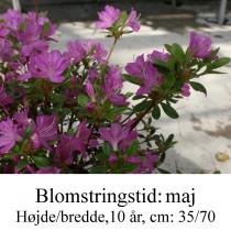 rhododendron Diamant violet