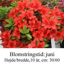 rhododendron Estrella