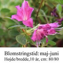rhododendron Kermesina violet