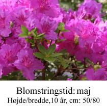 rhododendron Königstein