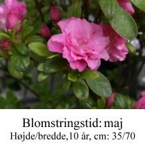rhododendron Rokoko