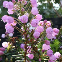 x phylliopsis Sprite