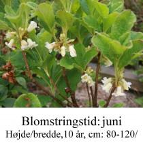 nipponicum rhododendron azalie