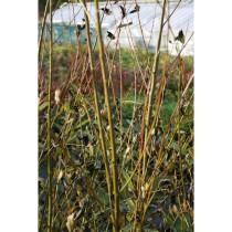 "Salix ""Black Maul"" flettepil"