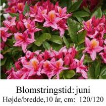 bonny azalie hybrid rhododendron