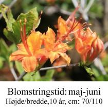 Coccinea Speciosa azalie hybrid