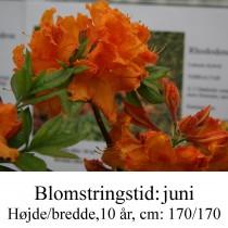 Mandarin lights azalie hybrid