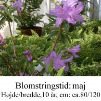 yedoense var poukhanense rhododendron azalie
