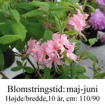 prinophyllum rhododendron azalie