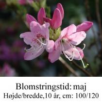 vaseyi rhododendron azalie