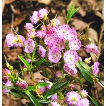 Kalmia polifolia New Foundland