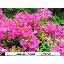 x phylliopsis Askival