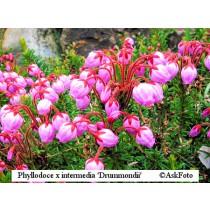 Phyllodoce x intermedia Drummomdii