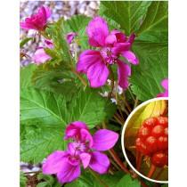 Rubus x stellarcticus Linda allåkerbær