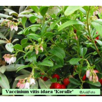 Vaccinium vitis-idaea Koralle tyttebær
