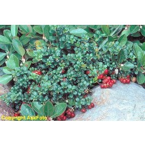 Vaccinium vitis-idaea v. minus. Tyttebær