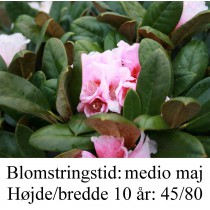 rhododendron Wanna Bee yakushimanum