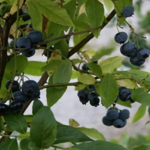Hardy Blue amerikansk blåbær