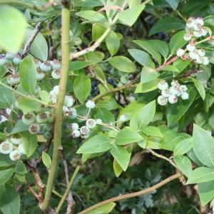 Amerikansk blåbær Elliot umodne bær