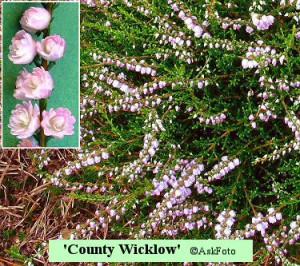 Calluna vulgaris County Wicklow