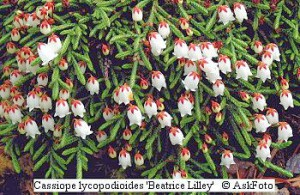 Cassiope lycopodioides Beatrice Lilley