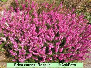 Erica carnea Rosalie