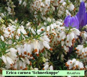 Erica carnea Schneekuppe