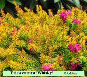 Erica carnea Whisky