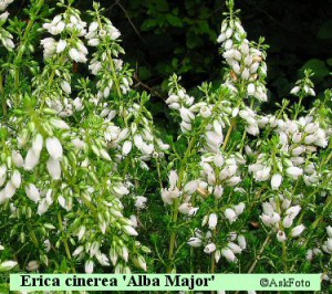 Erica cinerea Alba Major grålyng