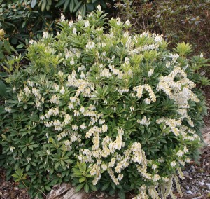 Pieris yakusimanum Cavatine