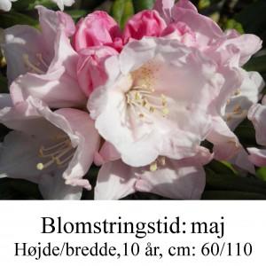 rhododendron Koichiro Wada yakushimanum