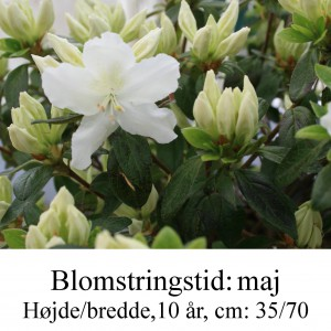rhododendron Diamant hvid