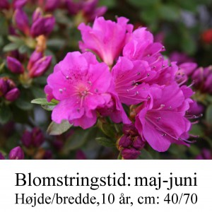 rhododendron Geisha Haruko