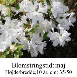 rhododendron Kermesina alba